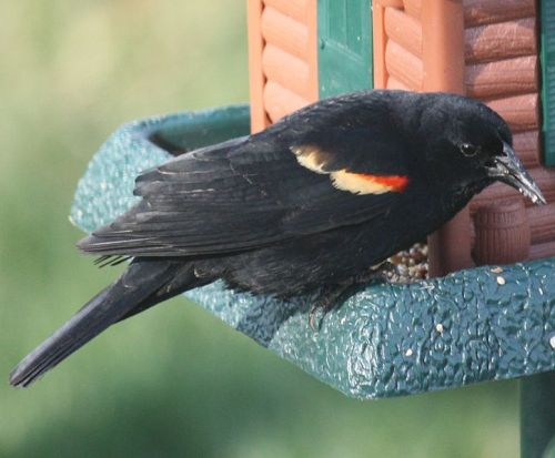 """Red-Winged Blackbird"" by Ltshears"