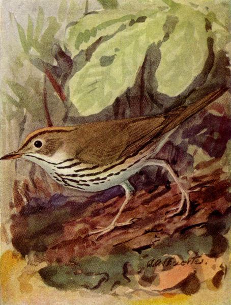 """Oven-bird"" by Louis Agassiz Fuertes"